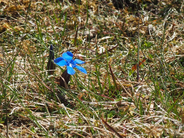 The rare Spring Gentian which I've twice found flowering on the western side of Mickle Fell