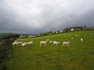 The sheep and sheep poo filled field below Jollybody Farm