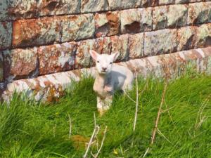 A lamb in the churchyard