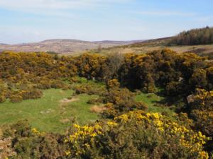 The gorse filled quarry