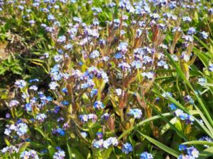 Forget-me-nots at Longdales