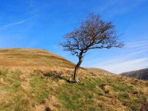 The solitary tree I passed on my way up Brownber Hill