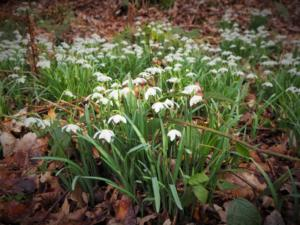Snowdrops in Dufton Ghyll Wood