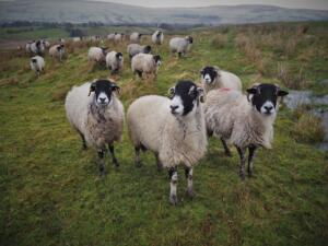 Some more inquisitive sheep