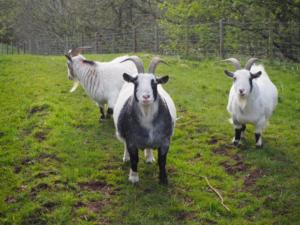 The trio of goats I met at Nether Haresceugh