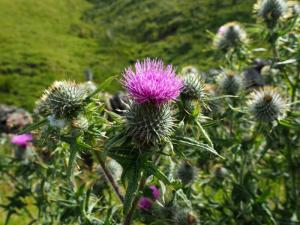 One feature of the walk was the many thistles we saw