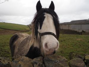The friendly horse at East Thorngarth Hill