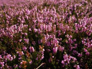 A close up of the heather on Muggleswick Common