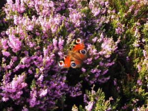 A peacock butterfly in the heather