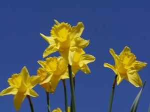 Daffodils on the road to Ayle