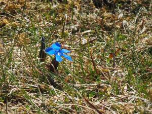 A rare spring gentian on the slopes of Mickle Fell