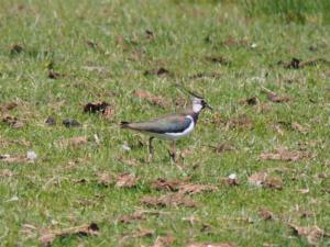 A lapwing