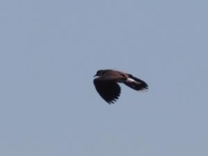A lapwing in flight