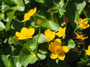 Some marsh marigold