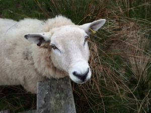 The ewe that tried to get in my lunch bag