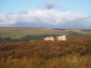 Some of the local sheep